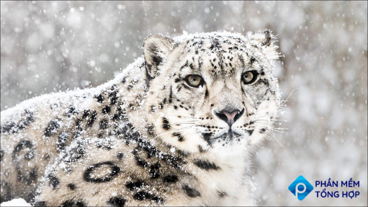 A Snow Leopard, which was the mascot for Mac OS X 10.6.